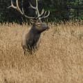 Bull Elk In Yellowstone by Dakota Light Photography By Dakota