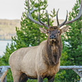 Bull Elk by James Udall
