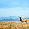Bull Elk Meadow by Todd Bielby