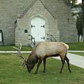 Bull Elk On The Church Lawn by Jeff Swan