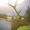 Bull Elk Profile by James BO  Insogna