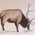 Bull Elk by Robert Fugate