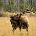 Bull Elk Sideview by Kelly Kennon