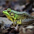 Bull Frog by Mark Miller