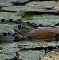 Bull Frog by Pamela Walton