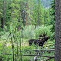 Bull Moose Foraging by NaturesPix