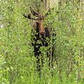 Bull Moose Guards The Aspen by Tony Hake