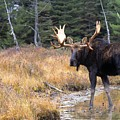 Bull Moose In Stream by Natural Selection Bill Byrne