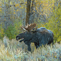 Bull Moose In The Evening by Yeates Photography