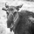 Bull Moose by Meg Bothe