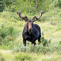 Bull Moose Stands Guard by Tony Hake