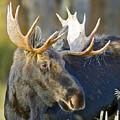 Bull Moose Up Close by Gary Langley