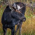 Bull Moose by Wayne Heim