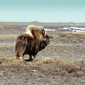 Bull Musk Ox by Anthony Jones
