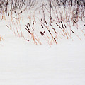 Bull Rushes In The Snow Db by Lyle Crump