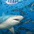 Bull Shark by Dave Fleetham - Printscapes