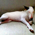 Bull Terrier Sleeping by Michael Tompsett