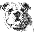 Bulldog-portrait-drawing by Gordon Punt