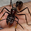 Bullet Ant On Hand by Dant� Fenolio
