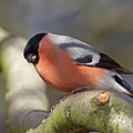 Bullfinch by Bob Kemp