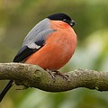 Bullfinch by FL collection