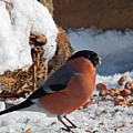 Bullfinch In The Snow by Bob Kemp