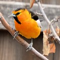 Bullock's Oriole by Wendy Fox