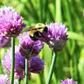 Bumble Bee And Chives by Emily Michaud