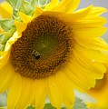 Bumble Bee And The Sunflower by Tiffany Erdman