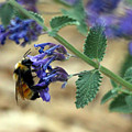Bumble Bee Delight by Samantha Burrow