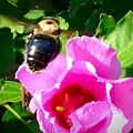 Bumble Bee Flying To Flower by Debra Lynch