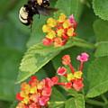 Bumble Bee In Flight by Carol Groenen
