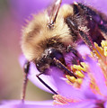 Bumble Bee On Aster by Jim Hughes