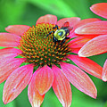 Bumble Bee On Flower by Steve Gass