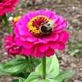 Bumble Bee On Pink Flower by Karen Jane Jones