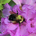 Bumble Bee On Rhododendron Blossoms by Anita Hiltz