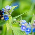 Bumble Bee On Siberian Bugloss by Marcin Rogozinski