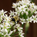 Bumble Bee On Wild Onion Flower by Kara Kelso