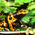 Bumble Bee Poison Frog by Donna Brown