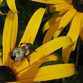 Bumble Bee Sitting On Black-eyed Susan by GinA Captured Images of Maine