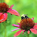 Bumble Bee by Steve Gass
