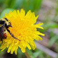 Bumble Bees And Dandelions by Samantha Burrow