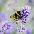 Bumblebee by Bee-Bee Deigner