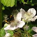 Bumblebee by Dan Anning