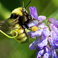 Bumblebee On A Blue Giant Hyssop by Cecille Gagne