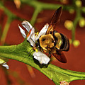 Bumblebee On A Hardy Orange Blossom 002 by George Bostian