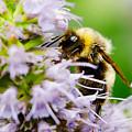 Bumblebee On A Violet Flower  by Nick  Biemans