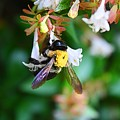 Bumblebee On Abelia by Kathryn Meyer