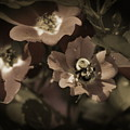 Bumblebee On Blush Country Rose In Sepia Tones by Colleen Cornelius