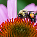 Bumblebee On Coneflower by Lori Coleman